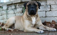 I've had four of these gentle giants. Bullmastiffs are the best dogs ever!