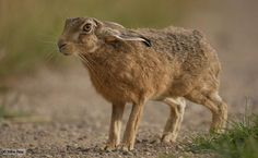 European Rabbit hare | Brown hare looking with ears down (c) Mike Rae