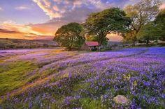 Sunset on the flower field wallpaper Field Wallpaper, Forest Wallpaper, Nature Wallpaper, Hd Wallpaper, Purple Flowers, Wild Flowers, Beautiful World, Beautiful Places, Beautiful Sunset