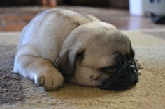 Napping pug puppy    Like, repin, share! :)