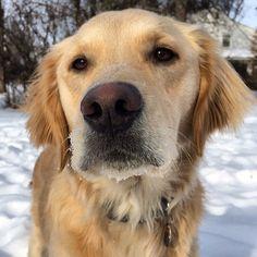 Golden girl. #dog #dogs #katanddog #golden #goldens #goldenlove #goldenoftheday #goldenretriever #goldenretrievers #goldensofinstagram #goldensoninstagram #goldens_ofinstagram #goldenretrieversofinstagram #retriever #retrievers #retrieveroftheday #retrieversofinstagram