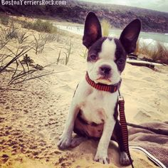 Stelly hanging out at the beach #bostonterrier.