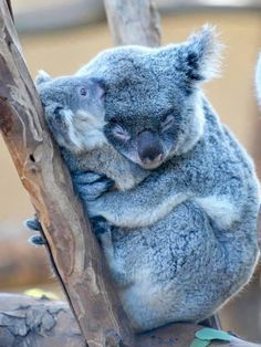 Koalas sleep cuddled in their young to protect them at all times.