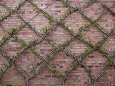 Espalier tree against brick wall