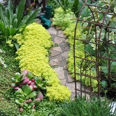 Plant A Hedge  This fine gold leaf sedum makes a colorful 'hedge' when planted along a stone path.