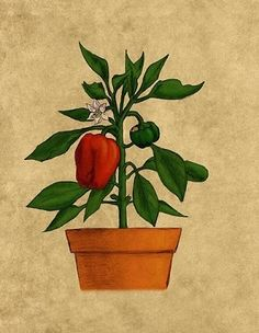 How to Grow and Care for Bell Peppers in Containers
