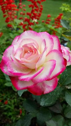 THE BEAUTY OF ROSES - Topluluk - Google