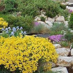 Alyssum Mountain Gold Flower Seeds (Montanum Mountain Gold) 200+Seeds - Under The Sun Seeds  - 1