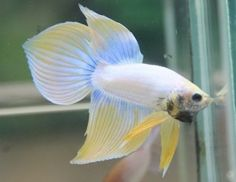 Pastel-Mustard-Spade-Tail-Betta-Male-Imported-from-Thailand-Unique-Betta