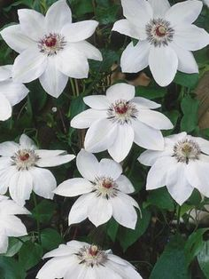 Clematis Mis Bateman(cvetanje VI-IX,visina rasta 200-300 cm,cena 600 din)