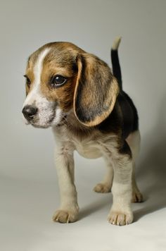 Are you interested in a Beagle? Well, the Beagle is one of the few popular dogs that will adapt much faster to any home. Whether you have a large family, p Baby Beagle, Beagle Puppy, Beagle Hound, Cute Puppies, Cute Dogs, Dogs And Puppies, Doggies, Toy Dogs, Puppy Pose