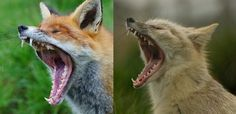 Yawning red and corsac fox - Red fox - Wikipedia, the free encyclopedia
