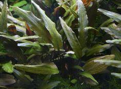 NEW!!! CRYPTOCORYNE WENDTII BROWN, Easy, Great contrasting Aquarium Plant $3.49
