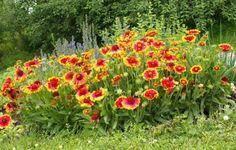 Посадка гайлардии многолетней: посев семенами, технология выращивания