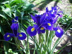The iris of Jules (photo taken by Julie)