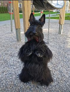 Possible ancestor of my little Corbin baby Schnauzer Mix, Schnauzers, Scottish Terrier Puppy, Terrier Dogs, Cute Baby Animals, Animals And Pets, Wild Animals, Baby Dogs, Dogs And Puppies