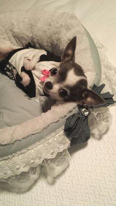 Little Sweetheart Jade the Chihuahua