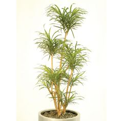 With its delicately long lightly toned green leaves on a windy stem; the Dracaena Americana makes for an attractive indoor plant!