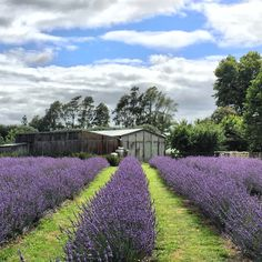 It is just beautiful. ❤️❤️❤️ #lavender  #lavenderfarm  #essentialoils  #hamiltonnz  #newzealand