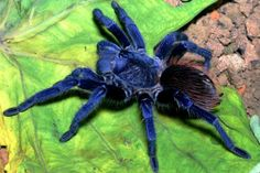 Pterinopelma sazimai, conhecida como Tarântula Sazima, foi descoberta no Brasil. Já é considerada uma espécie ameaçada pelo tráfico de animais que existe em nosso país.