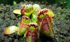 #PianteCarnivore #CarnivorousPlants #piante #plantascarnívoras