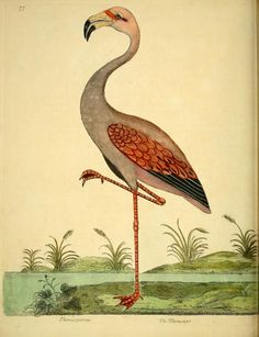 Flamingo, A Natural History of Birds: Illustrated with a Hundred and One Copper Plates, Eleazar Albin and William Derham, 1731-1738.