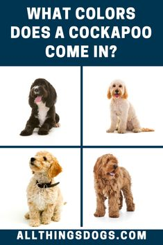 Cockapoo colors can be from any of the color combinations that are found in Poodles and Cocker Spaniels. They range from black, white, cream, brown, and can even have red coats. Read on to learn more about their coat.  #cockapoo #cockapoocolors #cockerspanielpoodlemix Black Dogs, White Dogs, Toy Cockapoo, Cocker Spaniel Poodle Mix, Red Coats, Big Puppies, English Cocker, Purebred Dogs, Medium Sized Dogs