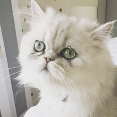 Olaf the Cat.  IG: i_am_olaf_the_cat Shaded silver Chinchilla Persian male.