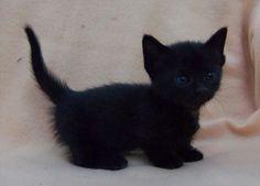 Precious little black kitten