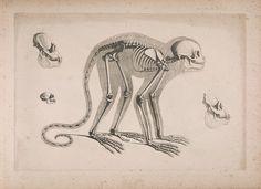 [Die vergleichende Osteologie /.  Bonn :In Commission bei Eduard Weber,1821-1838..