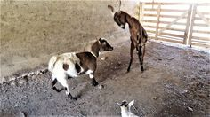 BATTLE OF THE BARN!- Introducing A New Goat To The Herd