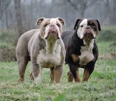 Image result for lilac olde english bulldogge