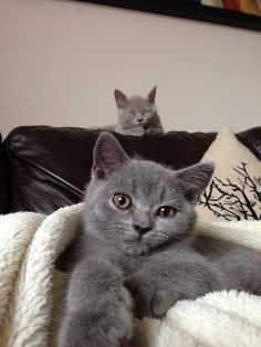 British shorthair cats sleeping as usual. Blue and lilac brothers.