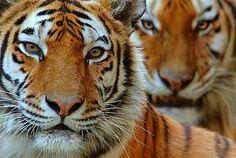 Fotograaf: Edwin Giesbers. Twee siberische tijgers. Deze tijger is zeer zeldzaam en houdt zich in leven door andere zoogdieren te eten. Soms is zijn prooi een aantal keren groter dan de tijger zelf is!