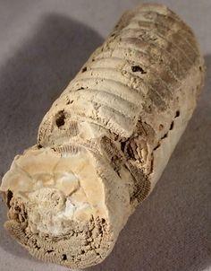 Large Fossil Crinoid Stem - Fossilized Crinoid Stalk by GEMandM on Etsy https://www.etsy.com/listing/265509869/large-fossil-crinoid-stem-fossilized