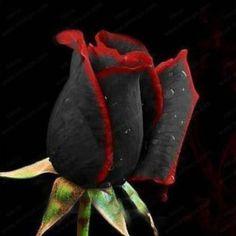 Black Rose with Red Trim