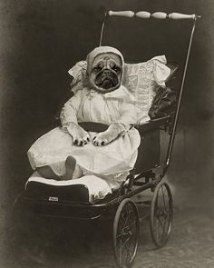 Vintage Pug. ~ pugaddict.com ~ join our Facebook page at http://www.facebook.com/pages/Pug-Addict/621471274575369