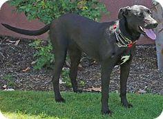 Torrance, CA - Great Dane/Labrador Retriever Mix. Meet Clio, a dog for adoption. http://www.adoptapet.com/pet/13022493-torrance-california-great-dane-mix