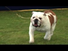 Southern Counties Championship Dog Show 2013 - Utility group