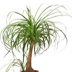 Ponytail palms are truly interesting houseplants with their spiky poof of slender leaves and elephant skin trunk. They are not true palms, however, so can you trim ponytail palms? Read here for the answer on how to prune a ponytail palm. Ponytail Plant, Ponytail Palm Care, Indoor Palm Trees, Indoor Palms, Succulents Garden, Garden Plants, Planting Flowers, Palm Plants, Palm House Plants