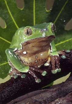 wax frog, but it's real.