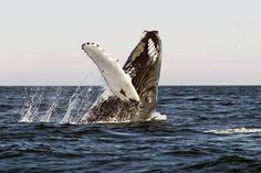 Whales Showing off  Newfoundland Canada