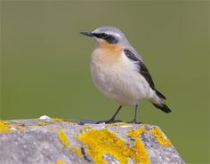 The Northern Wheatear, pretty and endangered British Bird. Likely to be quite badly affected by climate change :(