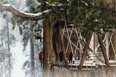 Giant Sequoia Skyscraper Competition