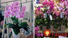 Ako si vybrať v obchode orchideu, ktorá vám bude kvitnúť celé roky? Flowers, Planters, Garden, Orchids, Plants