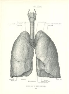 1926 Human Anatomy Print - Anterior Lungs