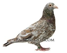 Racing Pigeon Lofts, Pigeons For Sale, Pigeon Pictures, Pigeon Breeds, Homing Pigeons, Almond, Birds, Loft Design, Teaching English