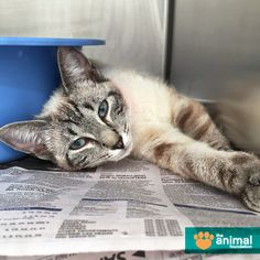 Audra is looking for a forever family with lots of love and patience to share. She's very shy in new environments, but a sweet girl at heart who'd love to blossom in your care! If you're the meowtstanding family Audra belongs with, get to know her today at our PetSmart Charities Everyday Adoption Center.