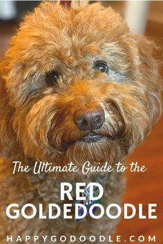 Curious about the red Goldendoodle? The red wrapping is just the beginning of all the interesting things to know about these Goldendoodle dogs! Learn what's behind those curly red locks and get to know the red Goldendoodle. Goldendoodle Names, Mini Goldendoodle, Huge Teddy Bears, Puppy Coats, Types Of Coats, Doodle Dog, Veterinary Care, Therapy Dogs, Service Dogs