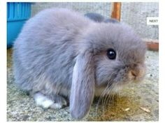 They steal my heart in a beat x  Beautiful mini lop rabbits County Durham Picture 1